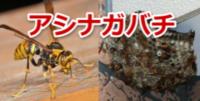 アシナガバチの種類