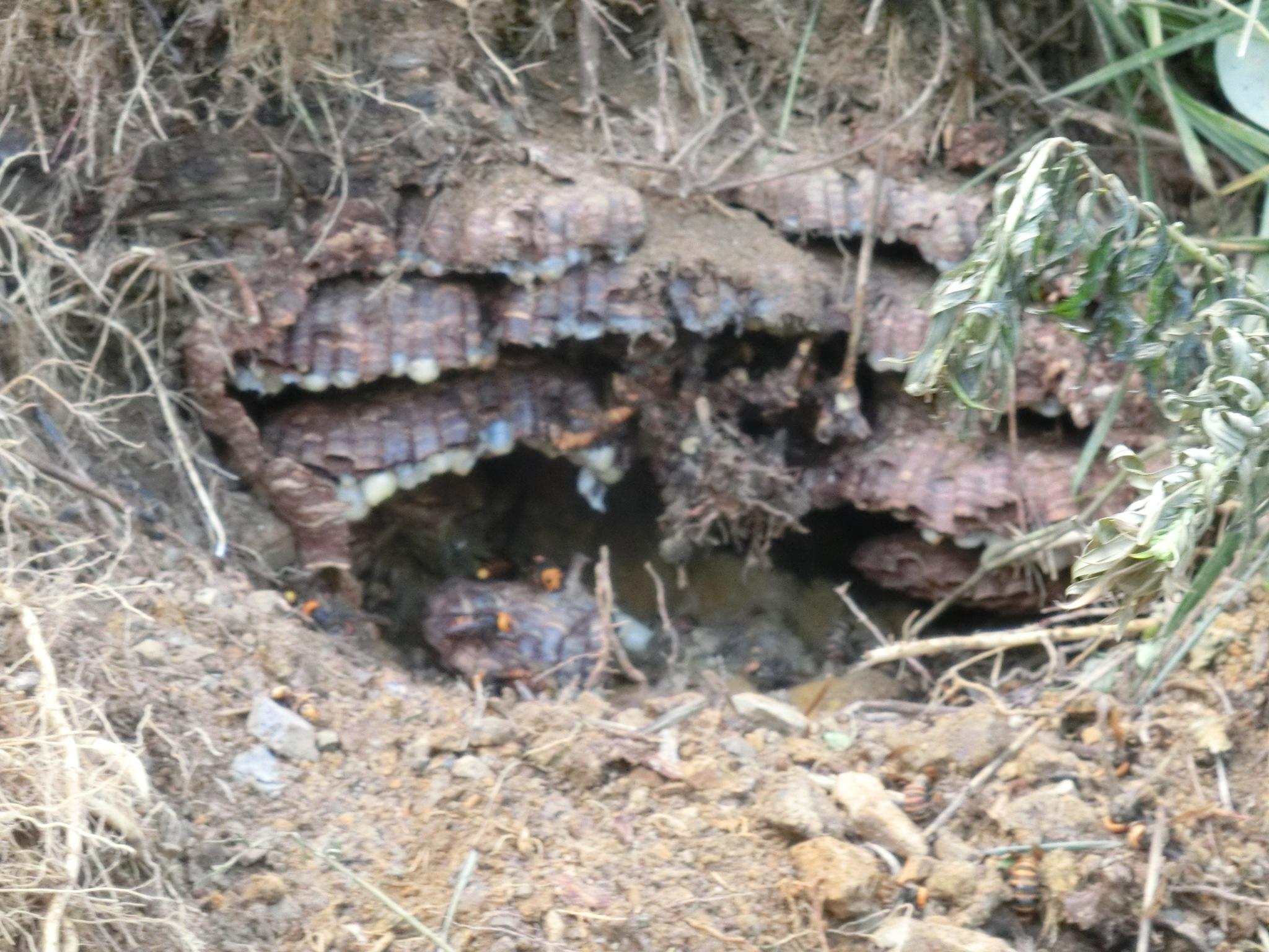 甲賀市甲南町の土の中のオオスズメバチの巣