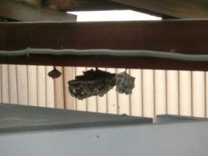 アシナガバチの巣、草津市青地町