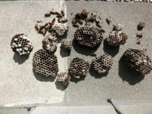 草津市青地 アシナガバチの巣