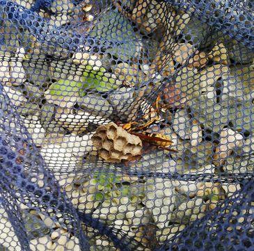 彦根市日夏町のアシナガバチの巣と女王蜂