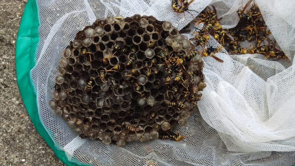 最盛期のアシナガバチの巣