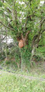 日野町キイロスズメバチの巣