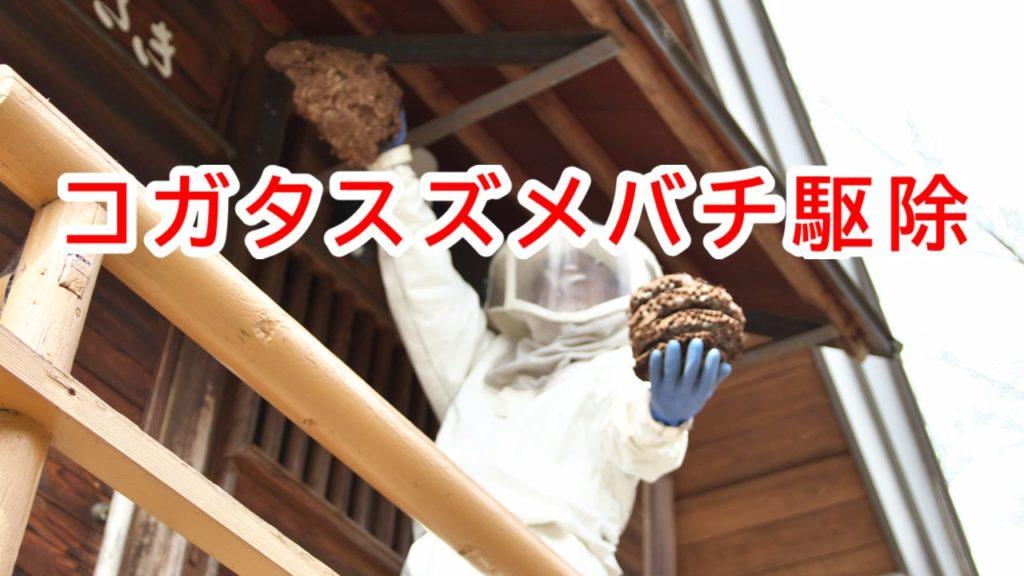 高島市今津町でコガタスズメバチ駆除