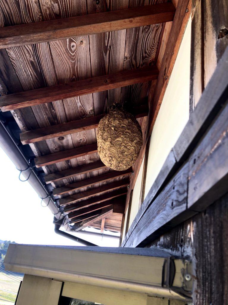 信楽町の軒下のキイロスズメバチの巣