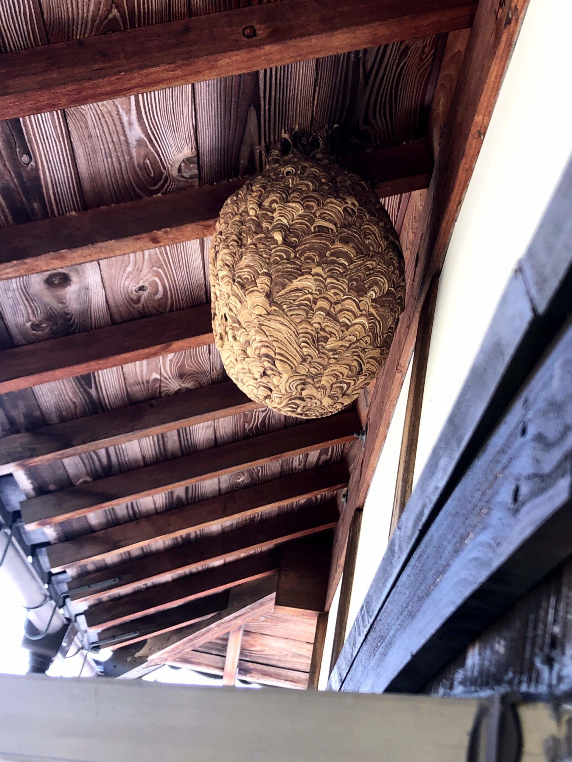 信楽町の二階軒下のキイロスズメバチの巣駆除