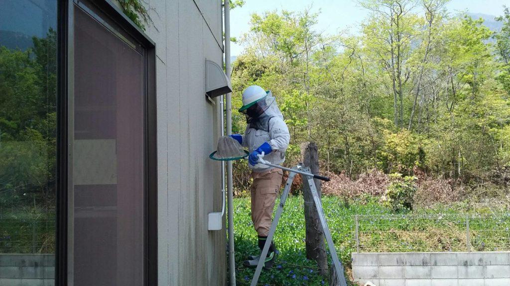 大津市南小松の朽ちたキイロスズメバチの巣撤去