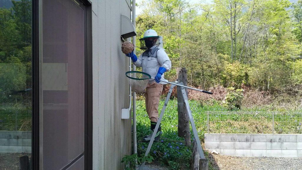 大津市南小松の朽ちたキイロスズメバチの巣撤去2